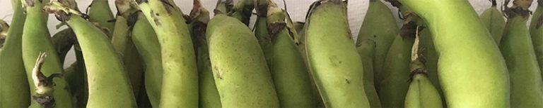 fava beans, one of favorite legumes in Sicily