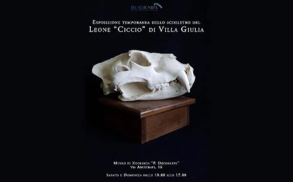 Zoological museum Doderlein organising an exposition on Ciccio the Lion