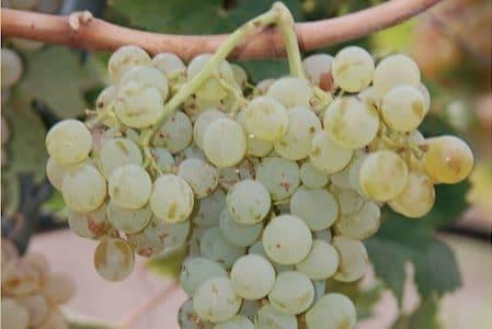 Sicilian white wine: carricante grapes