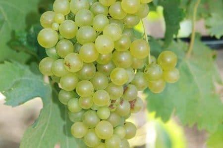 cataratto grapes