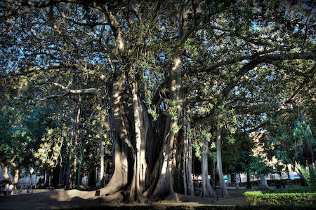 The record ficus tree at Piazza Marina, Palermo