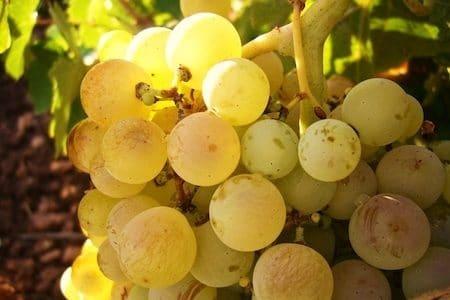 Sicilian white wine: grillo grapes
