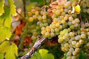 Sicilian white wine: inzolia grapes