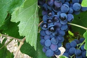 red Sicilian wine: nero d'avola grapes