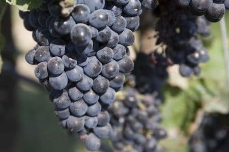 red Sicilian wine: perricone grapes