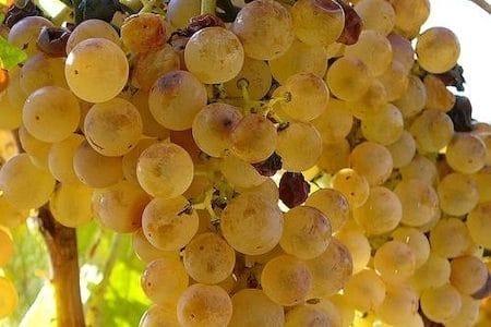 sweet zibibbo grapes