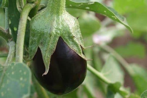 violet eggplant
