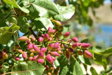 the pistacchio tree with fruits