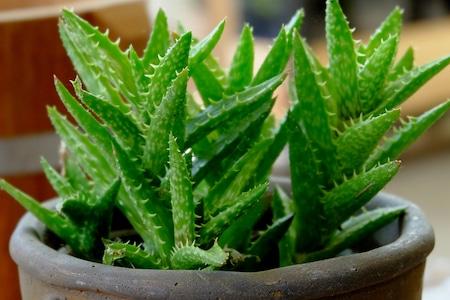 aloe vera, more than an ornamental plant