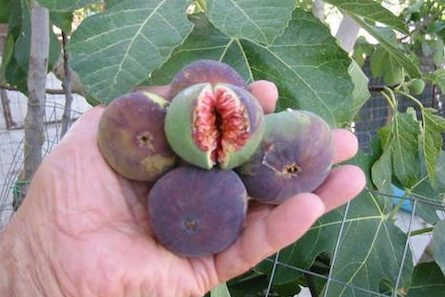 figs are known aphrodisiacs