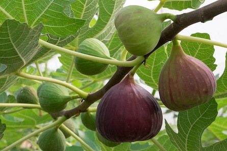 fresh figs on the tree