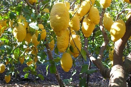 the citron tree, heavy with fruit