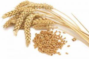 durum wheat, excellent for pasta