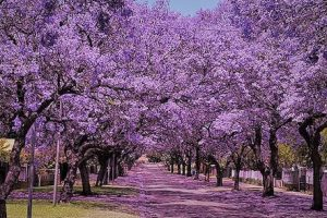 jacaranda coloring the city of Palermo with the intense blossom