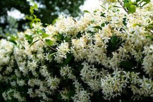 the smell of jasmine characterizes the city in summer