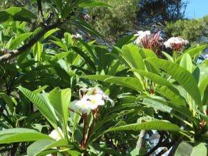 the pomelia, fragrant flowers