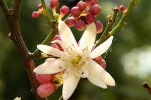 zagara, citrus flowers