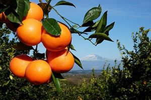 oranges are common citrus fruit in Sicily, here with mount Etna in the background