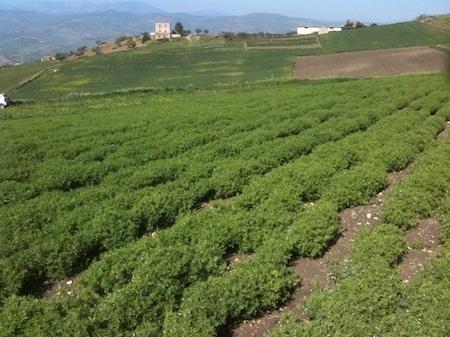 lentils growing in villaba