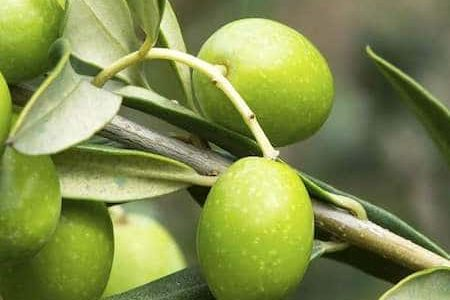olives waiting to be turned into oil