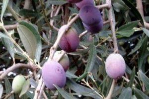 Sicilian olive ready for oil: biancolilla