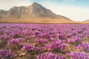 Saffron field in Iran