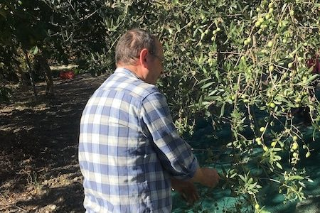 picking olives in Sicily