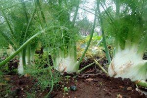 finocchio - fennel in the field